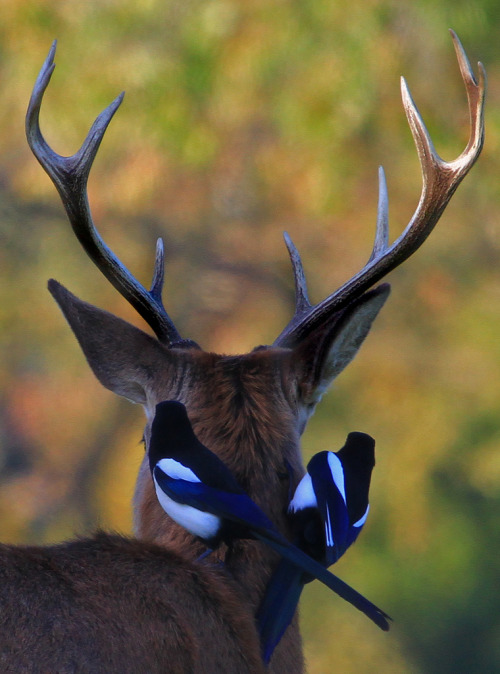 erosboros:  Deer with Magpies (by paulafrenchp)