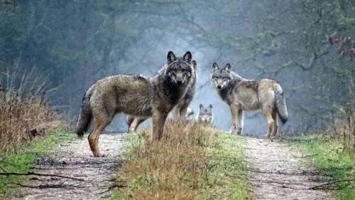wolf wolves canis lupus eurasian wolf eurasian wolves wild wolf wild wild wolves eurasian canis lupus lupus germany