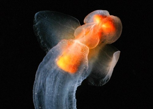 seventy-five-percent-water:  Gymnosomata, commonly known as Sea Angels. An apt name- the sea angels are the ethereal, translucent, fluttering angels of the sea.  In hard scientific terms, they're small swimming sea slugs, but we'll pass over that for now and just admire how delicately beautiful these wonderful creatures are.