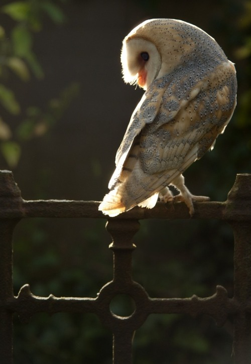pagewoman:  Churchyard Owl by phil homer LSINWP