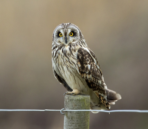 llbwwb:  Short Eared Owl (by 35NW3)