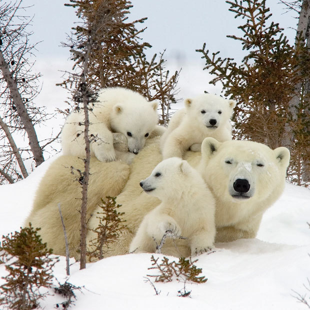inothernews:  Three polar bear cubs demand their mum's attention as they clamber over her at Wapusk National Park near Manitoba, Canada, as they laugh at the blizzard soon to strike the northeastern United States.  (Photo: Matthias Breiter / Minden Pictures / Solent News via The Telegraph)