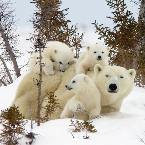 alexandraerin:  androgynishspeaks:  inothernews:  Three polar bear cubs demand their mum's attention as they clamber over her at Wapusk National Park near Manitoba, Canada, as they laugh at the blizzard soon to strike the northeastern United States.  (Photo: Matthias Breiter / Minden Pictures / Solent News via The Telegraph)  1. Bears are awesome 2. Saying that this park is near Manitoba is like saying that Disney World is near Florida.  Don't know why?  GEOGRAPHY. I probably shouldn't be as annoyed by American ignorance of an enormous neighboring country, but somehow, I am.  Since you're so up on geography, can you tell me in which part of the United States is London found? I want to write a letter to the Telegraph's offices there, complaining about their caption.  Haha…. point taken. (Though there are several Londons in the US)  Being a Canadian who's not from Toronto and living in the US, however, I stand by my comment about Americans and geography.