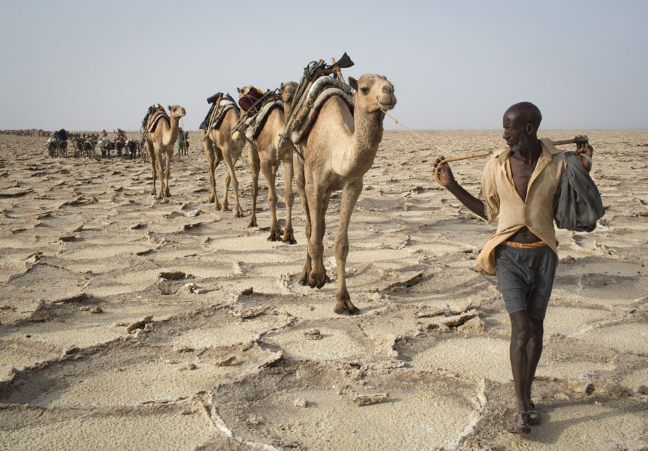 "fotojournalismus:  Ethiopia's Ancient Salt Trails (via Reuters) ""Photographer Siegfried Modola traveled to document Ethiopia's ancient salt trade in the Danakil Depression, one of the hottest and harshest environments on earth, with an average annual temperature of 94 degrees Fahrenheit (34.4 Celsius). For centuries, merchants have traveled there with caravans of camels to collect salt from the surface of the vast desert basin. The mineral is extracted and shaped into slabs, then loaded onto the animals before being transported back across the desert so that it can be sold around the country. Read Siegfried's personal account here."""