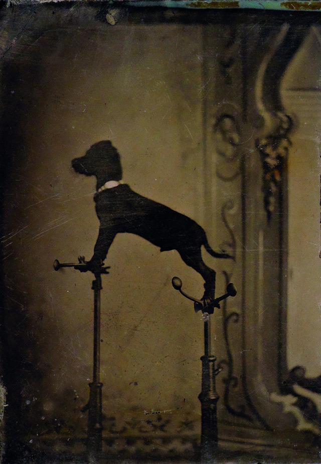 Tintype of dog standing on head braces