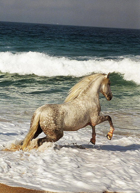 Faraon PRE Stallion / PRE Hengst by Majestic Andalusians on Flickr.