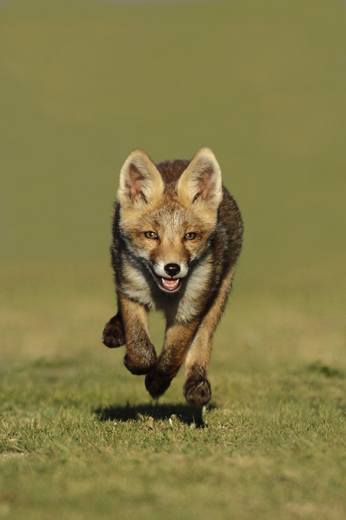 animalkingd0m:  Little Red Fox Running by Menno Schaefer