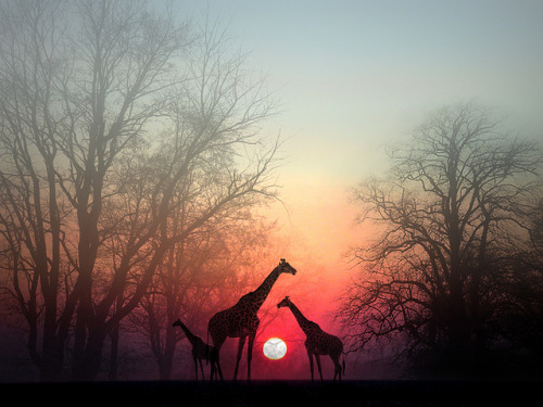 "planet-earthh:  ""Giraffes in the Sunset"" by my4otos on Flickr."