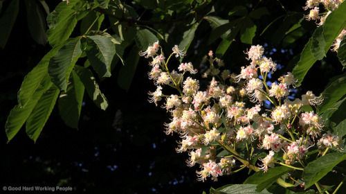 "Chestnut tree blooms - Volkspark Friedrichshain on Flickr.Via Flickr: Still photo from the video ""Volkspark Friedrichshain (People's Park) – In A Berlin Minute (Week 159)"" Watch the video: movingpostcard.com/volkspark-friedrichshain-berlin/"