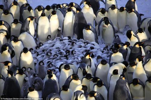 scienceyoucanlove:  A penguin nursery, filmed for the first time after BBC cameramen hid their cameras inside fake birds ~ Documentary 'Penguins - Spy In The Huddle' charts a year in the lives of emperor penguins in Antarctica, rockhopper penguins on the Falkland Islands, and Humboldt penguins in the Atacama Desert of Peru as they bring up their young, revealing the qualities that make them among nature's most devoted parents. Photo: Frederique Olivier/John Downer Productions  Source