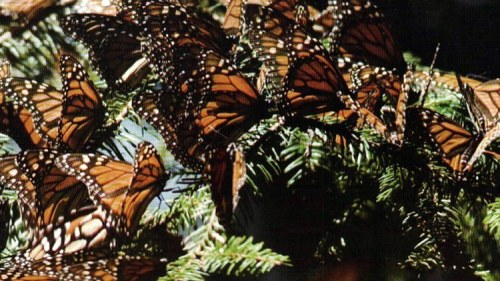 Monarchs in Hibernation     As shown above, the monarch butterfly population is so dense in their mountainous, winter residence of central Mexico that they cover the trees like leaves.      Some branches noticeably sway from the weight of the myriad monarchs even though they each weigh less than a gram. Many of the butterflies on this tree have journeyed 3,000 mi (5,000 km) or further to get to this several-hundred-acre colony, near the village of Michoacan. They overwinter until March before winging their way north to the U.S. and Canada, where they'll feed, most often on milkweed, until late summer.      They begin their southern migration in early fall, and by the first few days of November, virtually all of them have arrived in Michoacan. The butterflies that make this arduous circuit are the great-great-grand-butterflies of the ones that left the subtropics the previous spring! Genetic programming related to the monarchs' internal circadian clock guides them, likely using the Sun as a navigation aid, to their winter destination. —  Steve Spiegel / Jim Foster