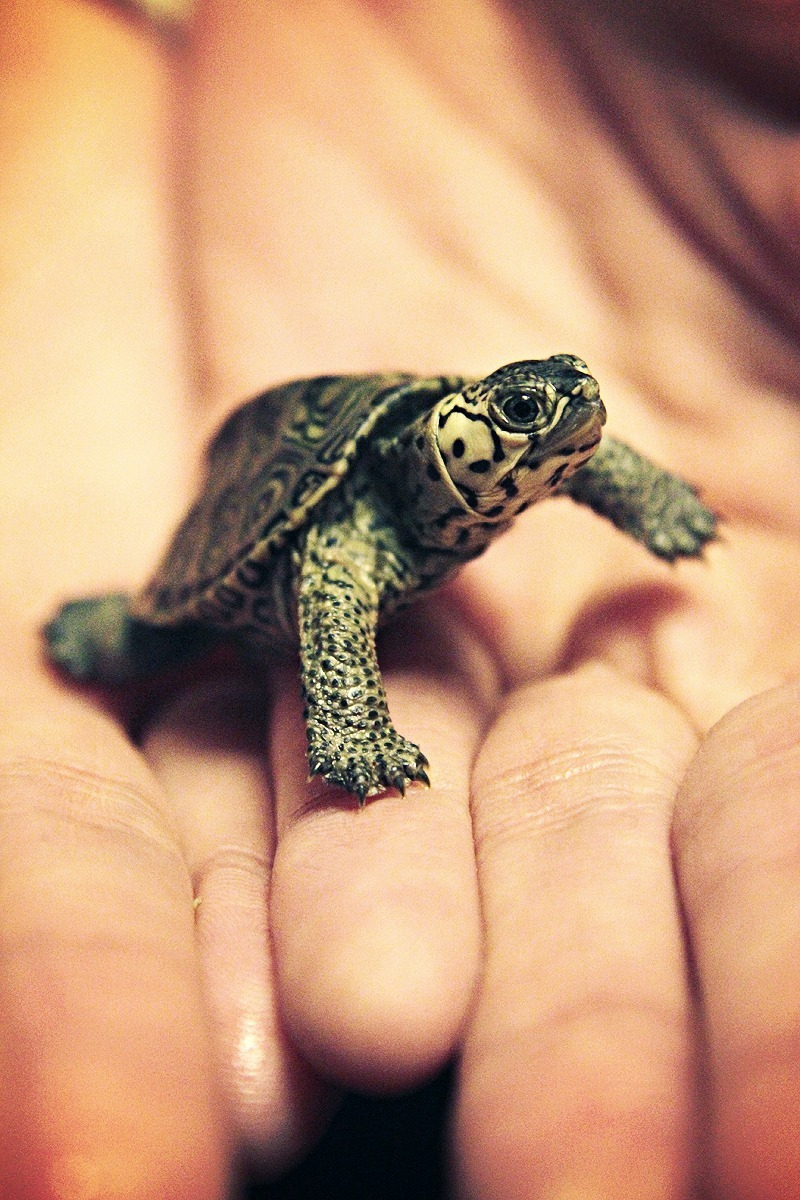 earthandanimals:  My White Concentric Diamondback Terrapin.