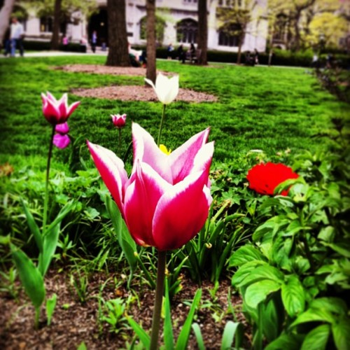 #tulips at #uchicago