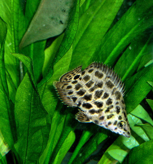 "myfishrunmylife:  Leopard Ctenopoma (ten-oh-POH-mah) - ""Spot"" by jeffrey.x on Flickr."