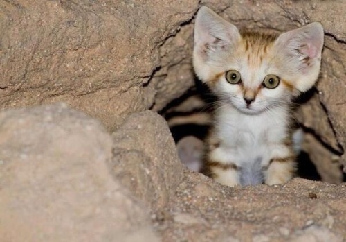 thefrogman:  This is an Arabian Sand Cat. You all want one now.