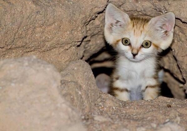 Aww it's a baby Arabian Sand Cat…