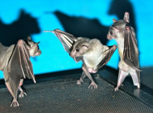 arizonaarizona:  mrscreepshow:  This looks like a bat break dance party!  dead