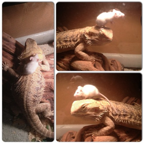 fuckyeahinterspeciesfriendships:   My sister has a bearded dragon and they typically eat crickets, but they'll eat mice occasionally as well. She bought this mouse a week ago and the first day, the bearded dragon put the mouse in his mouth and the mouse squeaked so he spit it out… and he's never tried to eat it again! Now they're friends and the mouse sleeps on his back and head and even moved some wood chips over to where the bearded dragon sleeps so he would have a bed too! It's so cute.  (I think I died at the cuteness of this! I'd love to give my beardie a mouse friend. He'd probably just eat it though, lol.)
