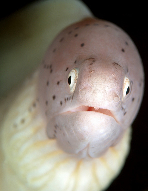 theoceaniswonderful:  Peppered moray  by vanveelen