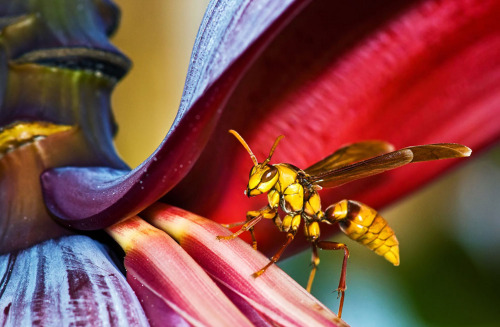 wasp on banana tree.                           photo by john matzick.         2013 Sony World Photography Awards