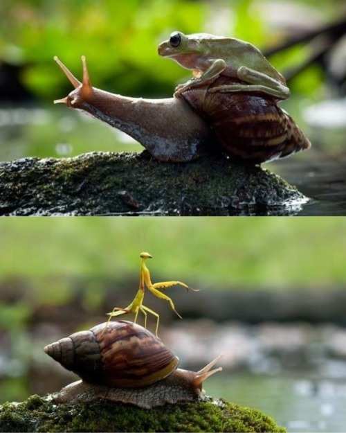 "cannis-lunnis:  Snails - nature's taxis: ""Slowly, but surely"""