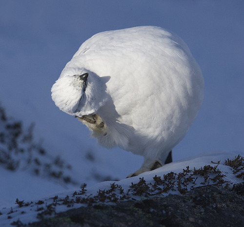 Ptarmigan scratching by David C Walker 1967 on Flickr.