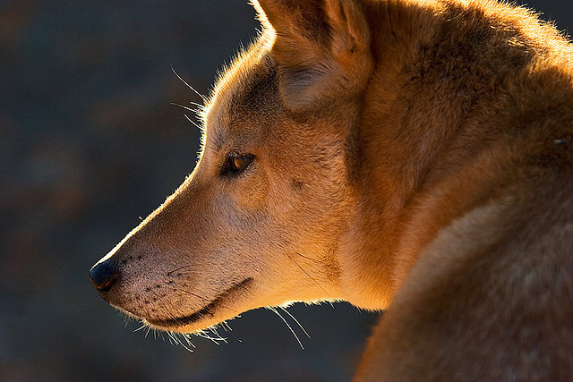 thecatdogblog:  Australian Dingo by aycee_2000 on Flickr.