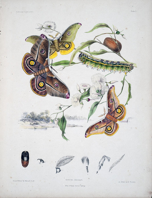 Australian lepidoptera and their transformations, drawn from the life by BioDivLibrary on Flickr. London :John van Voorst,1864, 1890-1898..biodiversitylibrary.org/page/35774523