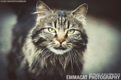 Cat of Beacon Hill - 170/365 on Flickr.Via Flickr: Sorry it's now 2013 and I'm still working on the editing from the 365 project from 2012. I am happy to say that I did take photos every day!  This cat was awesome and quite photogenic.