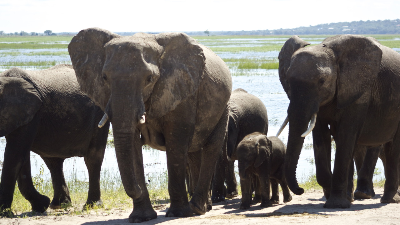 3lective:  Elephants - Chobe National Park, Botswana