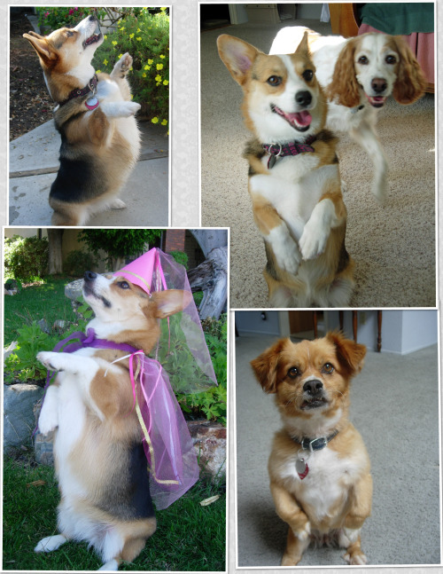 snickmom:  Warning- Sit Pretty is so adorable, your dog will quickly learn to use it to melt the heart of even the most determined owner. It is not unusual for me to be diligently working at my desk and FEEL the cuteness. I turn, and look, and there is a little corgi, sitting pretty, kind of wavering as she tries to maintain her balance long enough to silently get my attention. Works. Every. Time.  This is true. You teach your corgi to sit pretty — and that's it. It's over. Cuteness will win every time.
