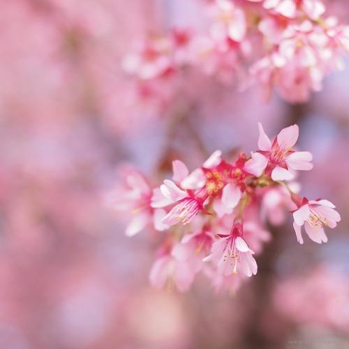 京都に春の訪れを告げる桜・おかめざくら。(京都長徳寺/3月)