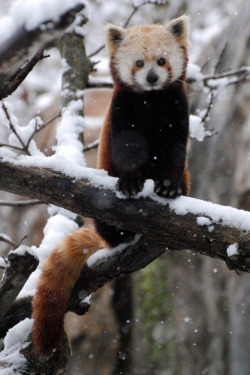 magicalnaturetour:  Red Panda in the Snow (by Smithsonian's National Zoo)  ADORABLE