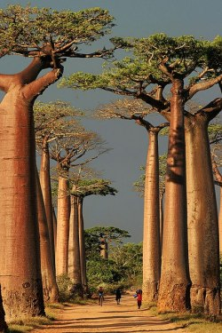 Baobab Alley, Morondava, Madagascar  Photo by  peace-on-earth org