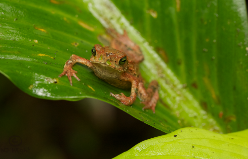 "njwight:  Can someone help me identify this unknown froggie I photographed in the Bocas Del Toro archipelago in Panama? He was indeed strange looking and the only one I saw. At first it looked like his back legs had ""melted"" onto the leaf. He does have beautiful green eyes. (Click to enlarge) Anyone?  I'm pretty sure that this is the Green Climbing Toad (Incilius coniferus), obviously they are not always completely green. It's a species of small arboreal toad, found int he forests of central and northern South America. http://www.iucnredlist.org/details/54614/0 http://amphibiaweb.org/cgi/amphib_query?where-genus=Incilius&where-species=coniferus http://biogeodb.stri.si.edu/amphibians/en/species/120/"