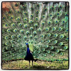 All #creatures #great and #small. #pretty #peacock #feathers #birds #zoo #irvinepark #chippewafalls #wisconsin #travel #colors #showoff #instagood #iphoneography  (at Irvine Park)