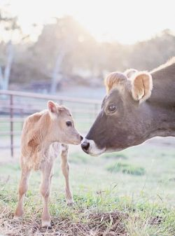 baby animals cow baby cow calf Bovine friends not food