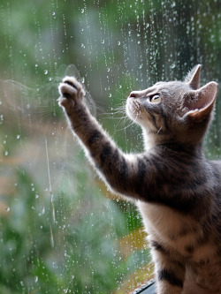 fuckyeahfelines:  Sylvie's first rain (by Stirred_For_A_Bird)