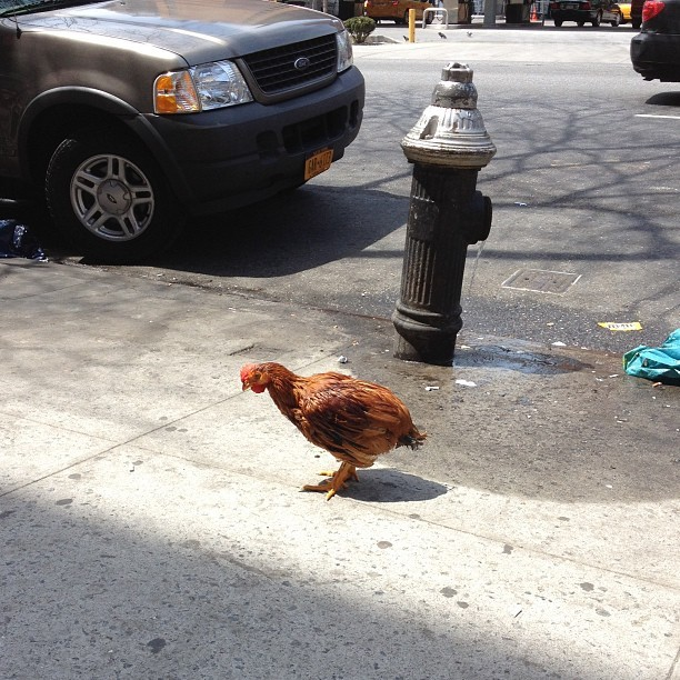 A live chicken just hanging out on 10th ave & 45th st. NBD. #nyc #hellskitchen #nofilter