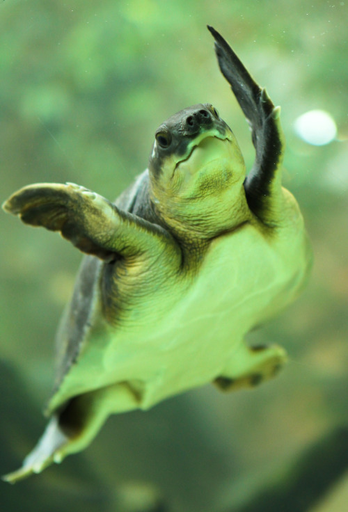 pig nosed turtle having a dance