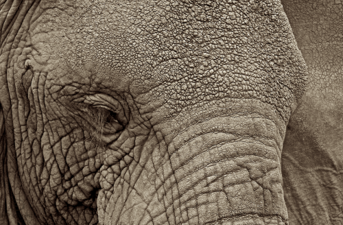 njwight:  The glorious texture of elephants…