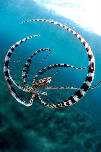 our-amazing-world:  octopus Amazing World beautiful amazing