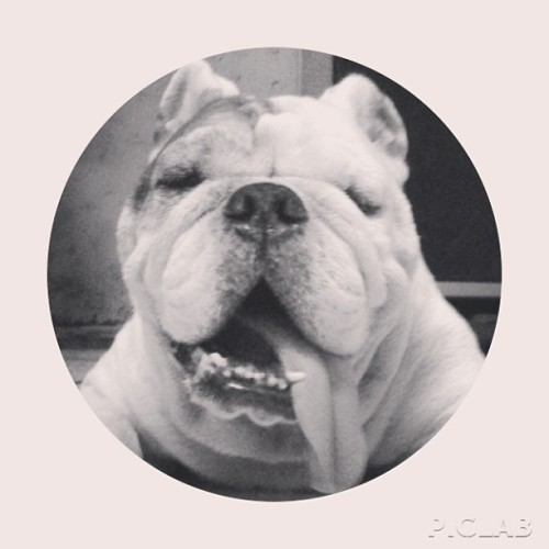 Some #monochrome #blackandwhite #marley #dog #bulldog #englishbulldog #tongue #tongueout #panting #smiling