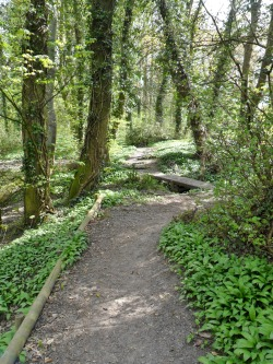 Path through the Dingle Woods, lined with wild garlic. Aldridge, Walsall, England All Original Photography by http://vwcampervan-aldridge.tumblr.com