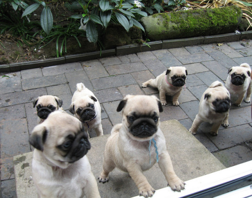 All these pugs and no bread? What has this world come to?