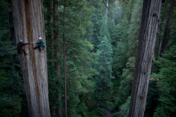 giantcypress:  College of the Redwoods, indeed. Photo by Michael Nichols, from National Geographic.