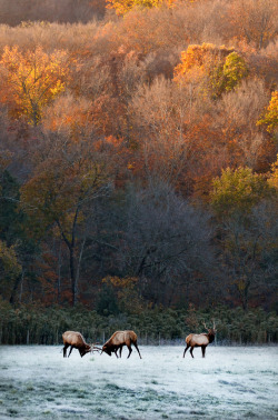 infinite-paradox:  Fall Elk Rut (by Jeka World Photography)