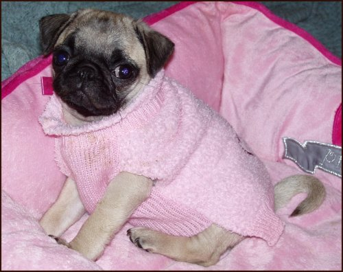 Little puglet princess is pretty in pink! (submitted by PrincessMom!)