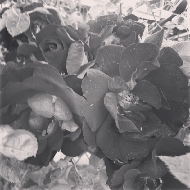 #cliche #photo #flowers #roses #gay #photography #pretty #holla (at Heaven)