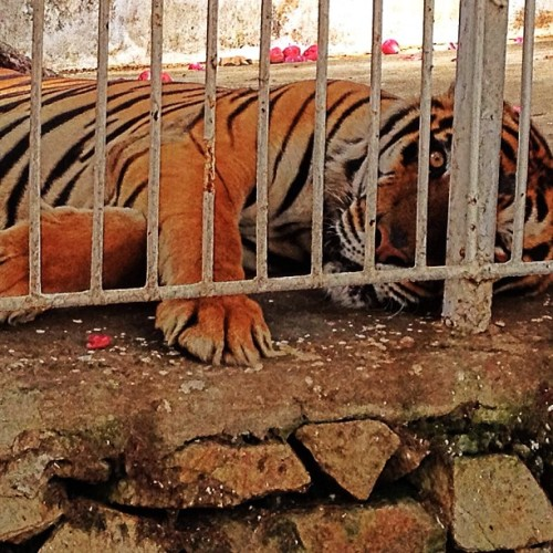 Caged Richard Parker 🐅 for youuu
